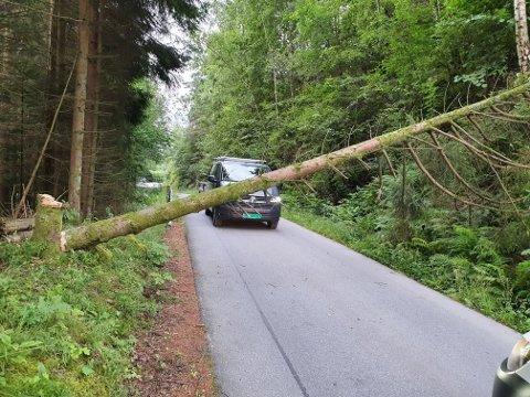 Et stort grantre ble i natt hogget ned i Skådeviksveien i Flekkefjord. Leserbilde