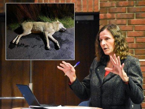 SJANSEN GLAPP: Lund kommune sin sjanse til å få ulven som ble skutt på Moi glapp denne gangen. Men ordfører Magnhild Eia (Sp) tror på flere sjanser om å få utstilt en ulv i kommunen.