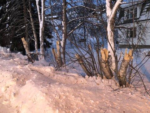 SPESIELL HOGST: Kantrydding er ikke så uvanlig langs veiene, men kantrydding på vinteren med mye snø gjør at stubbene som blir stående igjen blir ekstra lange.