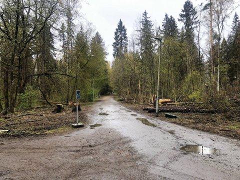 SYKE OG DØDE: Store, gamle trær har blitt syke og dødd etter tørkesommeren i 2018. I tillegg har klimaendringer ført til at flere trær angripes av barkebiller. I år må mange hundre trær felles.