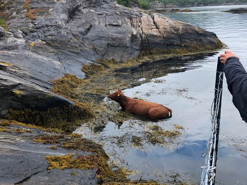 Kua låg i sjøen då fire ungdommar fann den og redda den på søndag.