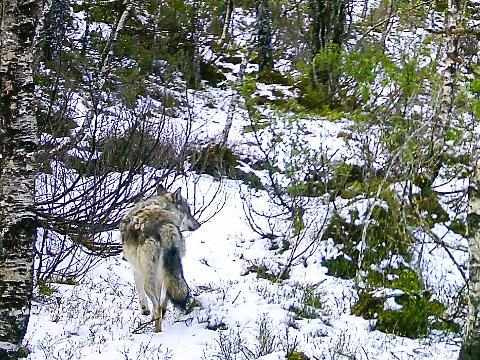 JAKTA: Ulven som har vore i Ytre Sogn og Sunnfjord i fleire år vart igjen observert 22. september. Bildet er frå 17. mai, då han vart avbilda i Litlebotnen mellom Tyssedalen og Hernes.