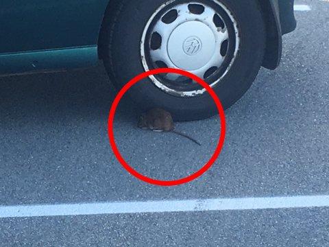 Rotta tok en hvilepause under en parkert bil, etter å ha angrepet en fugl.
