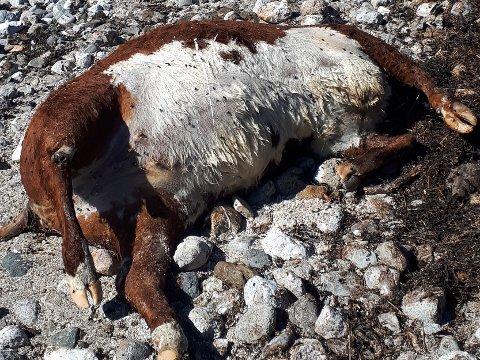 Død: Kua var svært opplåst og lå med knekt lårbein.