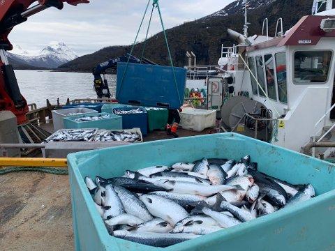 Skadelig oppblomstring av algen Chrysochromulina leadbeateri (dødsalgen) har forårsaket laksedød i Nordland og Troms. Her fra anlegget Northern Lights Salmon hvor to millioner laks er døde. Totalt 4000 tonn.
