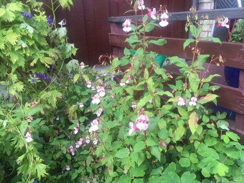 Beiarn kommune jobber blant annet med å bekjempe denne planten.
