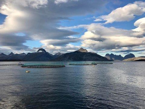Mowi, tidligere Marine Harvest, er i full gang med å slakte over én million fisk i Matvika i Sørfold etter at det tidligere denne måneden ble påvis ILA-smitte i to av merdene. Nå frykter man at også stamfisken i Vindvika må tas. Foto: Privat/Mowi