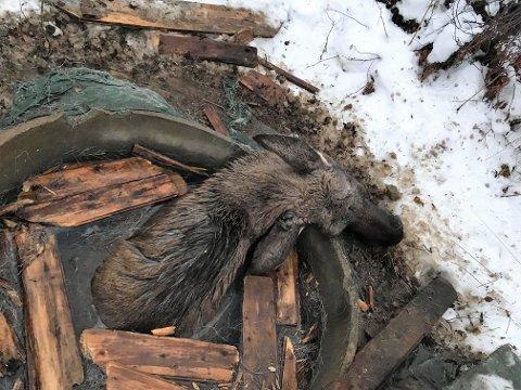 GRUSOMT SYN: Elgkua mistet livet etter å ha satt seg fast i brønnen.