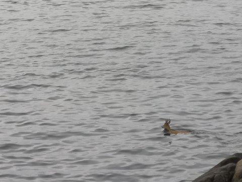 Svømmetur: Gier Henriksen fikk knipset et bilde av rådyret på svømmetur fra Engøya.