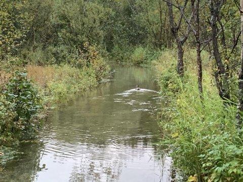 SLAPPER AV: Det var flere ender som nøt tilværelsen på Futelva i ettermiddag. Her svømmer en av dem oppå stien som går ved siden av elva.
