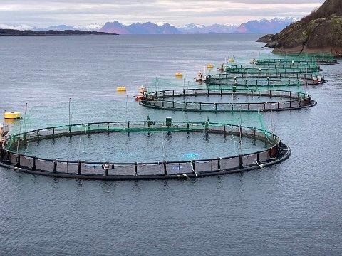 Utfordring: Cermaq Norway må forsøke å finne fram til andre måter å bli kvitt problemet med skarv som angriper oppdrettsanlegg og skader fisken.