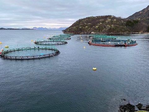 Venter: Cermaq Norway venter fortsatt på svar fra kommunen på søknaden om å avlive skarv for å berge oppdrettslaks fra å bli skadet.