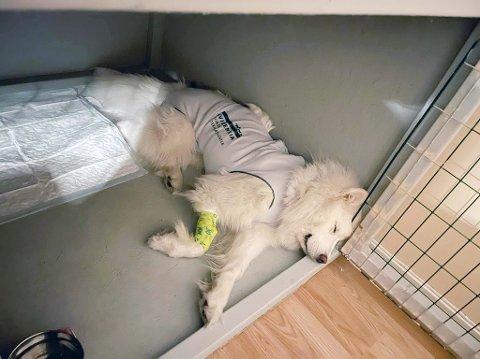 POTENSIELT DØDELIG: Hunden Hendrix hviler etter operasjonen der livstruende små plastbiter holdt på rive i stykker tarmer og magesekk.