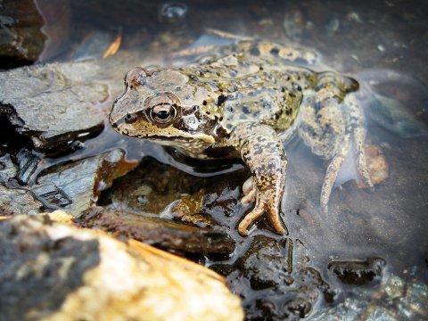 Amfibier er blant dyreartene som er mest utrydningstruet, ifølge FN-rapporten. Her er en frosk.