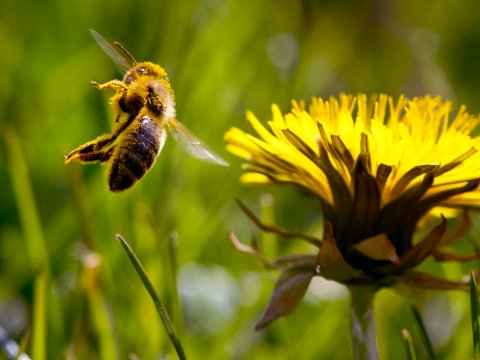 En bie med pollen flyr ved en løvetann i Frankfurt. FNs naturpanel anslår at nær 10 prosent av alle insekter er utrydningstruet.