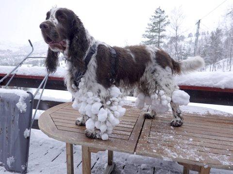 Springer Spanielen Apollo fikk føle på kroppen at det har falt nye snø på Kvamskogen de siste dagene.