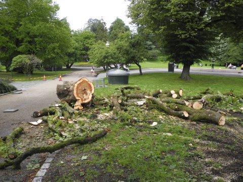 Delen av stammen som ligger igjen viser at det var et velvoksent tre som falt.