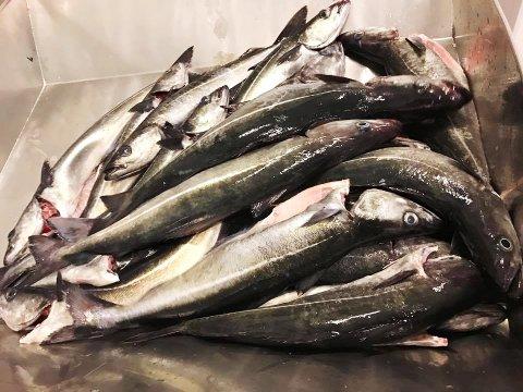 – Det er 90 prosent sei i fangstene som leveres ved Andenes Fiskemottak, opplyser daglig leder Leif Kvivesen. (Foto: Andenes Fiskemottak)