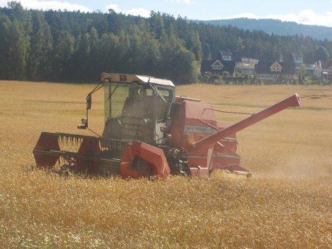 DÅRLIGE AVLINGER: Årets kornhøst er ikke mye å skryte av. Også gressavlingene er dårlige.