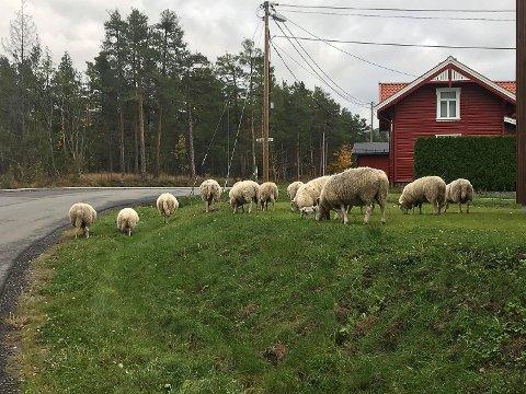 SAU: Disse sauene skaper nå problemer for trafikken ved Skredsvikmoen i Geithus