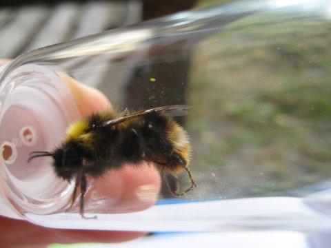 Den sjeldne lundgjøkhumla er funnet i Bingen i høst.