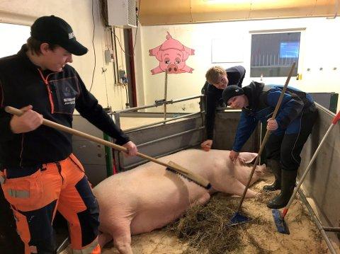 KOSEGRIS: Her er det Petter Rustand (f.v.), Karl Martin Rolfstad og Didrik Kristiansen Kornrud, elever fra 1NAA (VG1 Naturbruk) som koser med grisen.