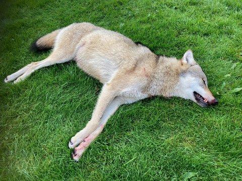 FELT: Det tok åtte dagar frå Fylkesmannen gav fellingsløyve på denne ulven, til han blei skoten fredag kveld. Det viste seg å vera ein 43 kilo tung ung hannulv.