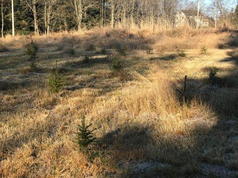 MÅ RIVE OPP TRÆRNE: De 80 grantrærne Morten Brenden plantet for halvannet år siden får ikke bli stående. Dermed blir de aldri til juletrær.