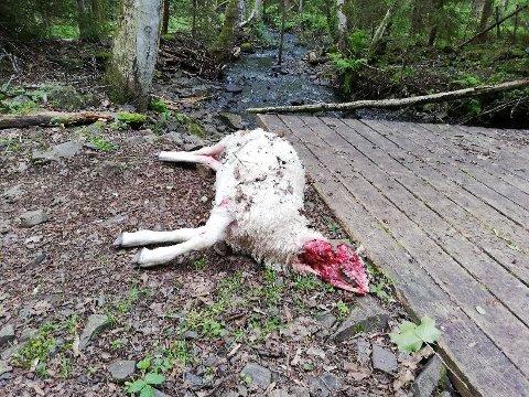 TATT AV HUND: Rovviltkontakten Jarle Foss og sauebonde Anders Baumann er rimelig sikre på at en hund drepte lammet til Baumann.