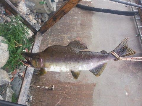 UØNSKET: Pukkellaksen er uønsket i Norge. Ny rapport konkluderer med at fisken kan gjøre stor skade. Her fra Hellefossen i Hokksund i 2013