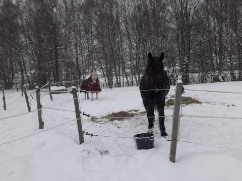 REDDET: De rømte hestene på E134 onsdag morgen ble fraktet trygt til gården til Knut Borgersen i Mjøndalen. Der fikk de både høy og varmt vann, mens de venter på at eieren skal ta kontakt.
