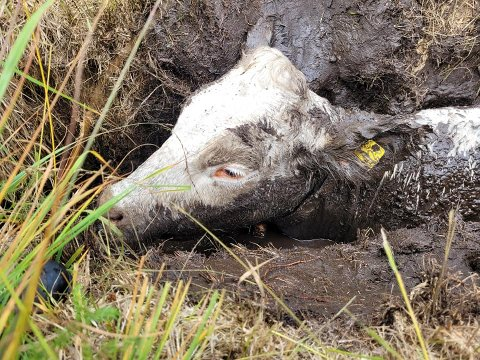 UHELDIG KU: Rune Pettersen tok dette bilde kua som hadde satt seg fast i myra i Finnemarka.