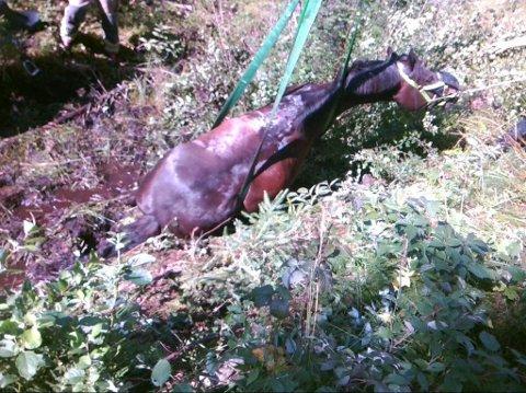 Satt fast: Hesten satt godt fast i myra. Her dras den opp etter over en times redningsaksjon.