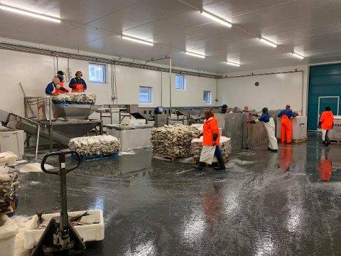 Saltfiskproduksjon på Nordvågen AS.