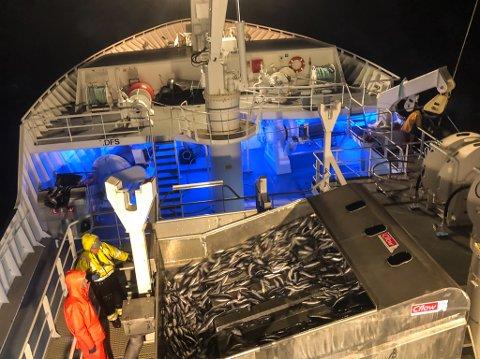 Silda er på veg frå nota til tankane. Til saman fire kast brukte Fiskebas på å få ombord rekordlasta på 1050. tonn.