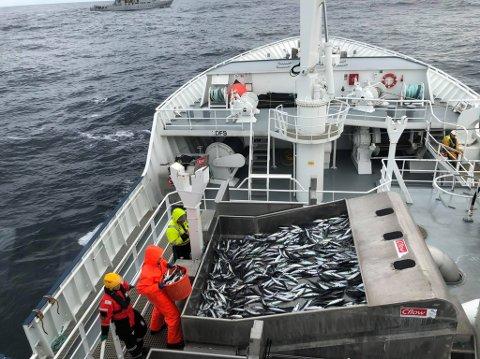 FISKEBAS: Full klaff blei det til slutt. Her har dei drege opp 460 tonn makrell i nota.