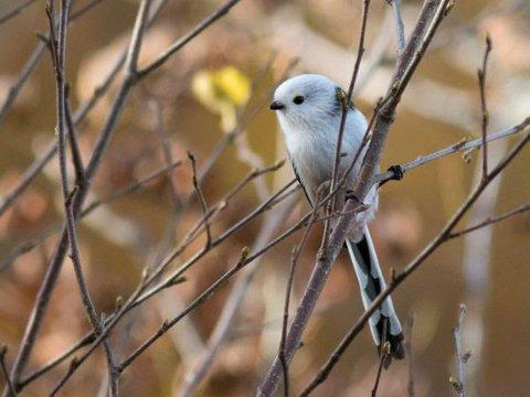 Blåmeisa er vår nest vanligste fugl ved foringsplassen.