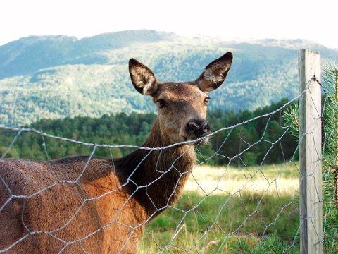 FORBOD: No er det ikkje lengre lov å sette ut fôr eller saltslikkesteinar til hjorten i fylket.