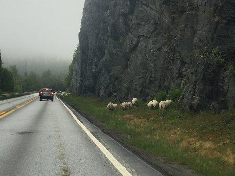 PASS DEG FOR DESSE: 10-12 sauer går ved vegen på E39 på Langeland.