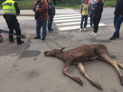 AVLIVET: I sommer måtte politiet avlive en elgku midt i Fredrikstad sentrum. Viltnemnda tok seg av oppryddingen.