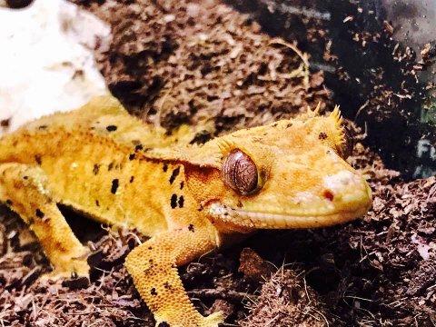 PÅ PLASS: Denne tassen, en crested gekko (kranset gekko), kom denne uken på plass i Østfoldhallen. 15.august ble denne og 18 andre typer reptiler lovlige i Norge.