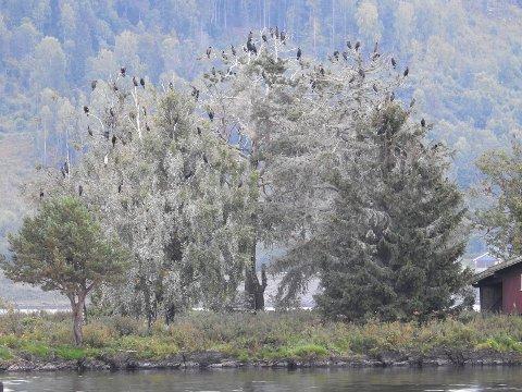 Skarv på øya Fluren i Mjøsa ved Biri 8. september 2017. Det hvite er guano fra skarven som tar drepen på trærne