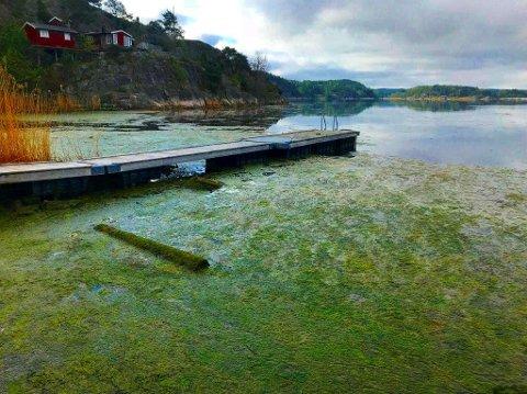 Lite fristende: Dette bildet er tatt i mai, fra den første algeoppblomstringen i Hunnebunnen, Vispen. Lokalsamfunnet ryddet det som ble tonn med alger.