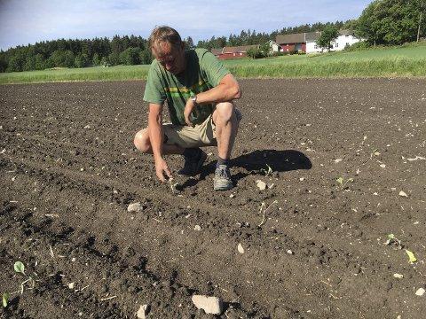 Venter på kålen: Kålbonde i Østfold, Ole Konrad Fløgstad inspiserer kålplanter på et av flere jorder. Her ligger kål i tonnevis, klare til å høstes i overgangen september/oktober.