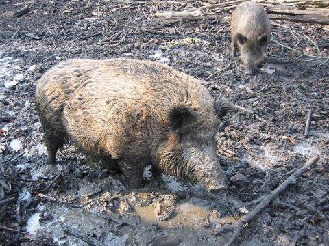 Trodde det var et vilt dyr: Den rømte krysningen skal se ut som et voksent villsvin, som det nærmeste på bildet, og turgåeren som så dyret trodde først at det dreide seg om et vilt dyr. (Arkivfoto: Halden Arbeiderblad)