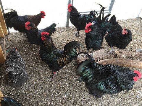 Sju haner er seks for mange. Skole må kvitte seg med de seks hanene.