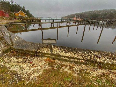Bilde fra Oksrødkilen i Onsøy tatt i november i fjor. Da plukket oppryddingsgrupper fra «Marin omsorg» opp rundt 400 kilo av den stearinliknende massen.