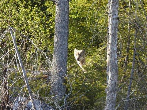 VANDRER: Man antar at ulven som ble sett på Seutbrua er den samme som ble observert i Råde og Rygge noen dager tidligere.
