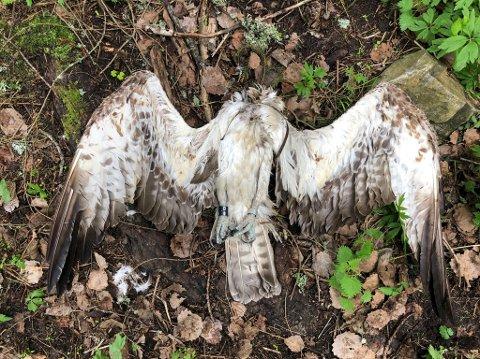Uten hode, med brukket vinge og med en vekt som viser at han knapt kan ha spist i det siste. Slik ble fiskeørnen herr Huseby funnet sist helg.