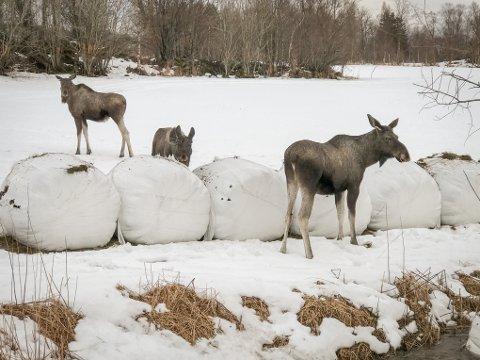 FÔRTJUVER: Bønder i Evenes har søkt om midler for å holde elgenen vekke fra rundballene